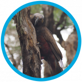 First kākā translocation to Poutiri Ao ō Tāne.